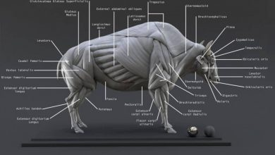 Photo of CGTrader – Bison Ecorche – Model Muscles Study – 3D model